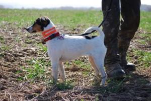 Kurzhaariger Parson Russell Terrier
