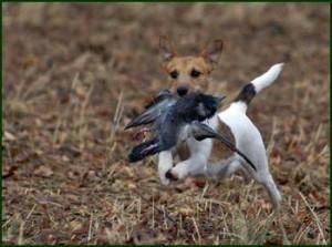 Jack Russel Terrier beim Apport