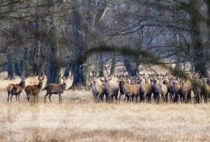 Hirschrudel im Spreewald