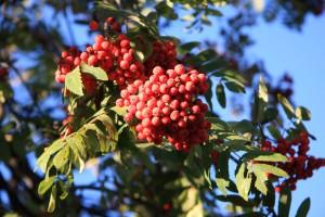 Eberesche Frucht