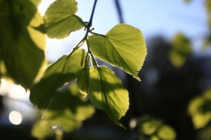 Herzförmige Blätter