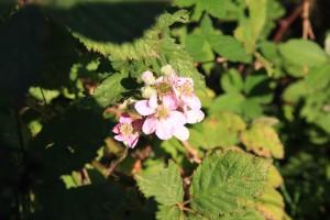 Brombeere Blüte