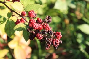 Brombeere Frucht
