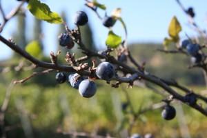 Schwarzdorn Frucht
